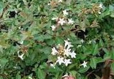Abelia Grandiflora, Ref. 2 Arbusto