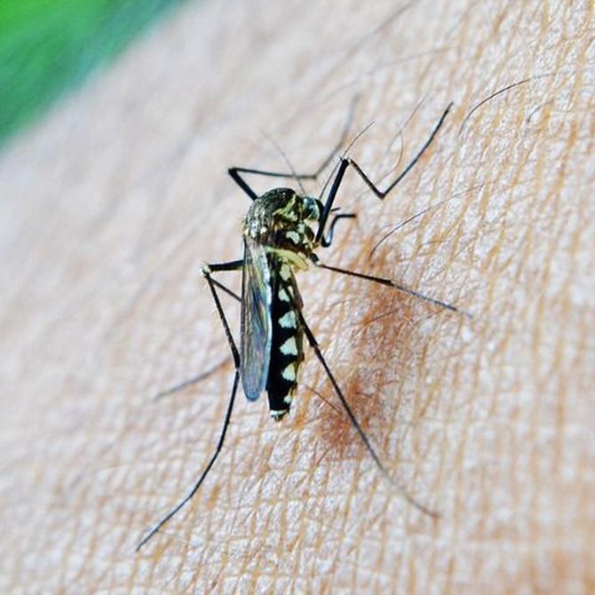 Tipos de mosquito en España y cómo evitarlos