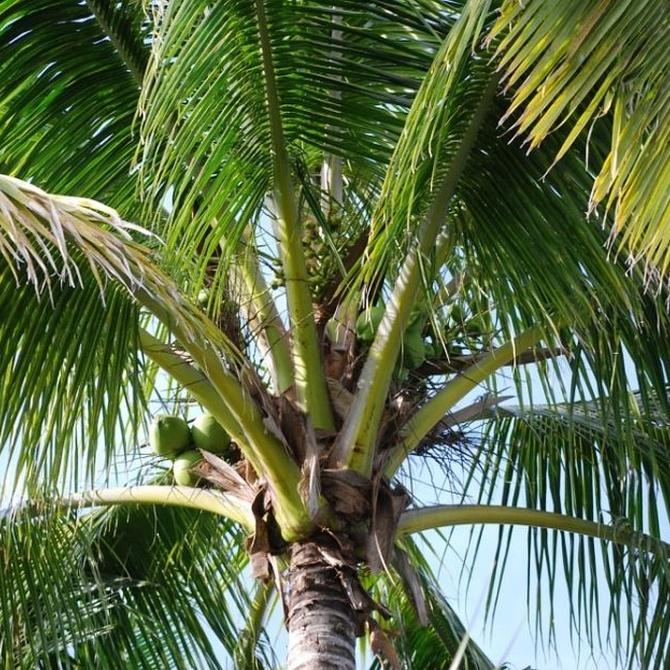 La poda de las palmeras