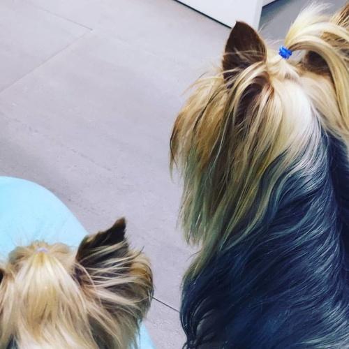 Zeus y Valentino esperando su turno de vacunas. Los yorkshire pueden vivir entre 15 y 20 años. La AKC lo cataloga como perro hipoalergénico