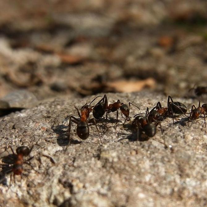 Las hormigas carpinteras