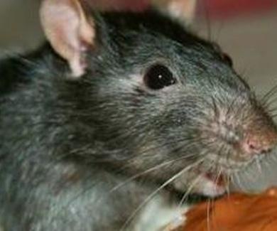 Desratización y venenos para eliminar ratas