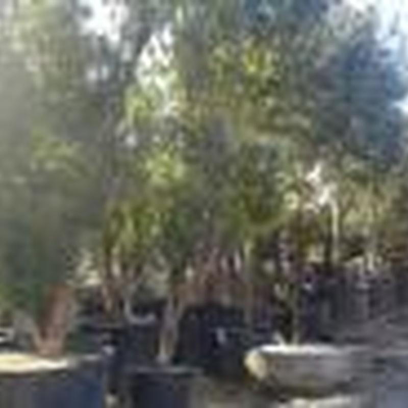 Árboles: Plantas y complementos de Viveros Cidoncha
