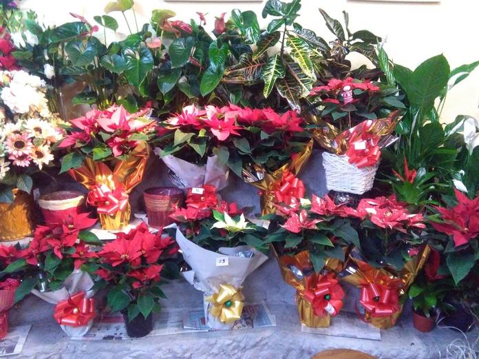 Variedad de ponsetias en la epoca de navidad