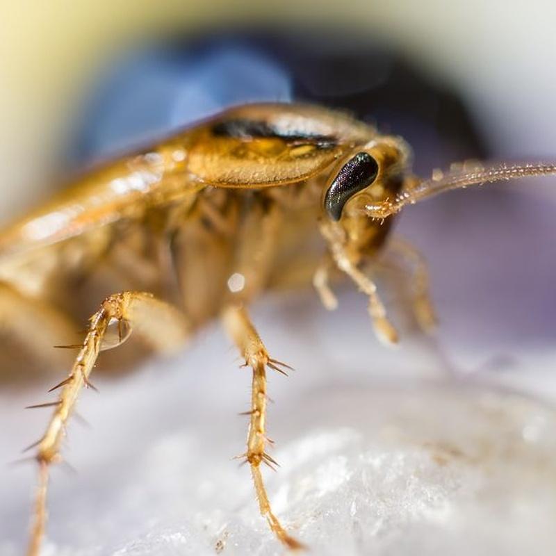 Cucarachas: Servicios de Dys - Hy