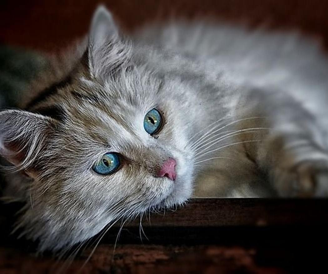 Cuidados de gatos de pelo largo