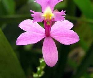 Ángel de la Visión - Orquídea amazónica