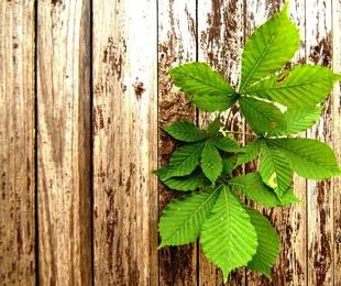 La madera de castaño: resistente, duradera y flexible