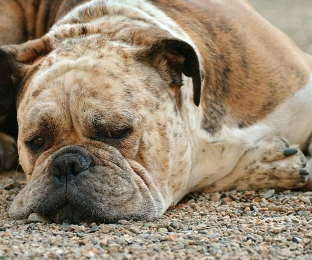 La pioderma canina