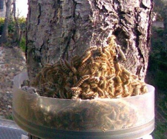 El control de la procesionaria del pino