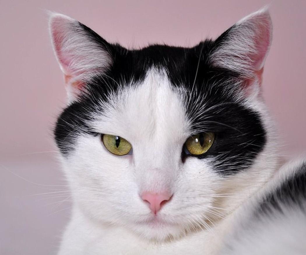 Claves de la alimentación de gatos diabéticos