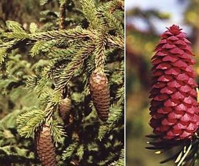 ABETO ROJO Ref. 9 ( Planta medicinal )