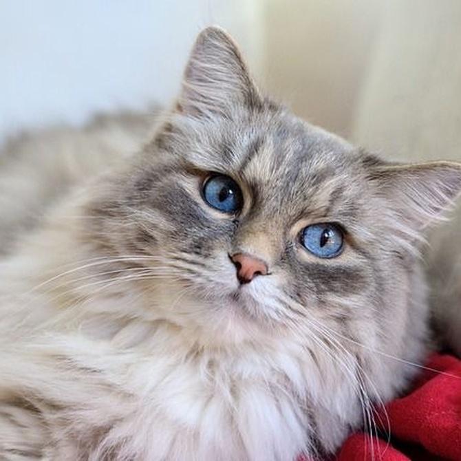 Consejos para cuidar a los gatos de pelo largo
