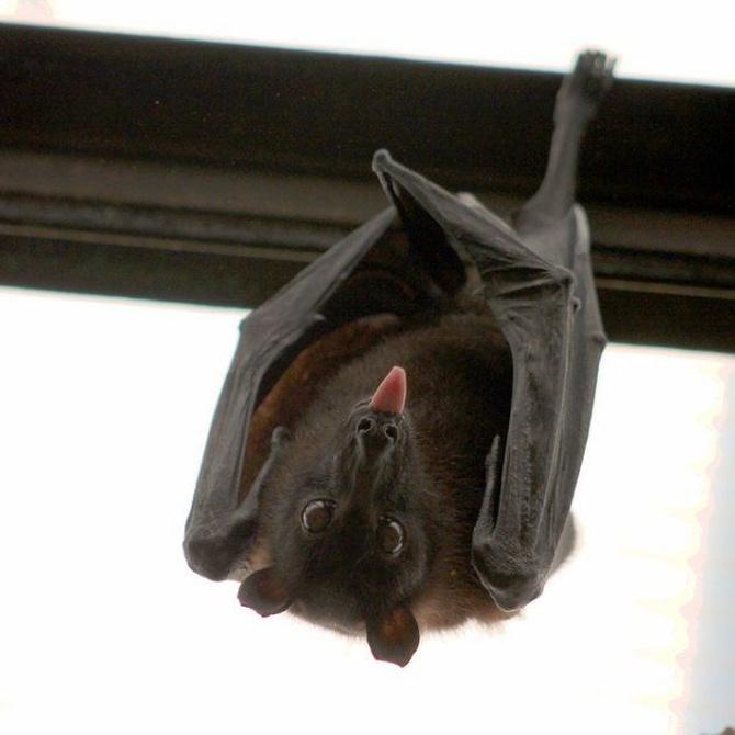 Sacar a un murciélago de la casa