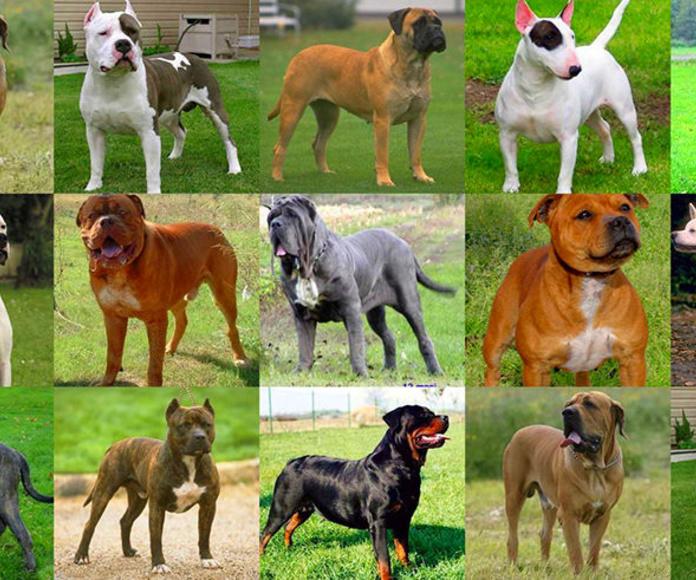 Certificados médicos para tenencia de perros considerados peligrosos