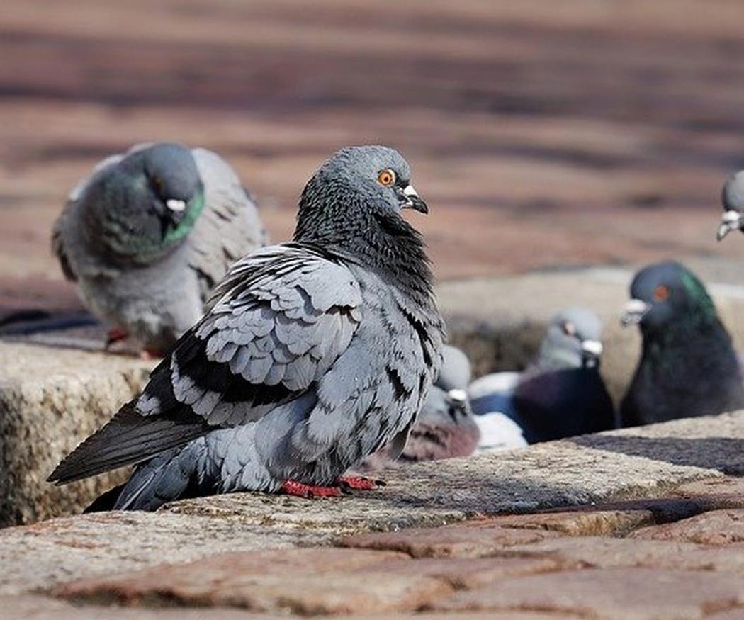 Enfermedades que transmiten las palomas