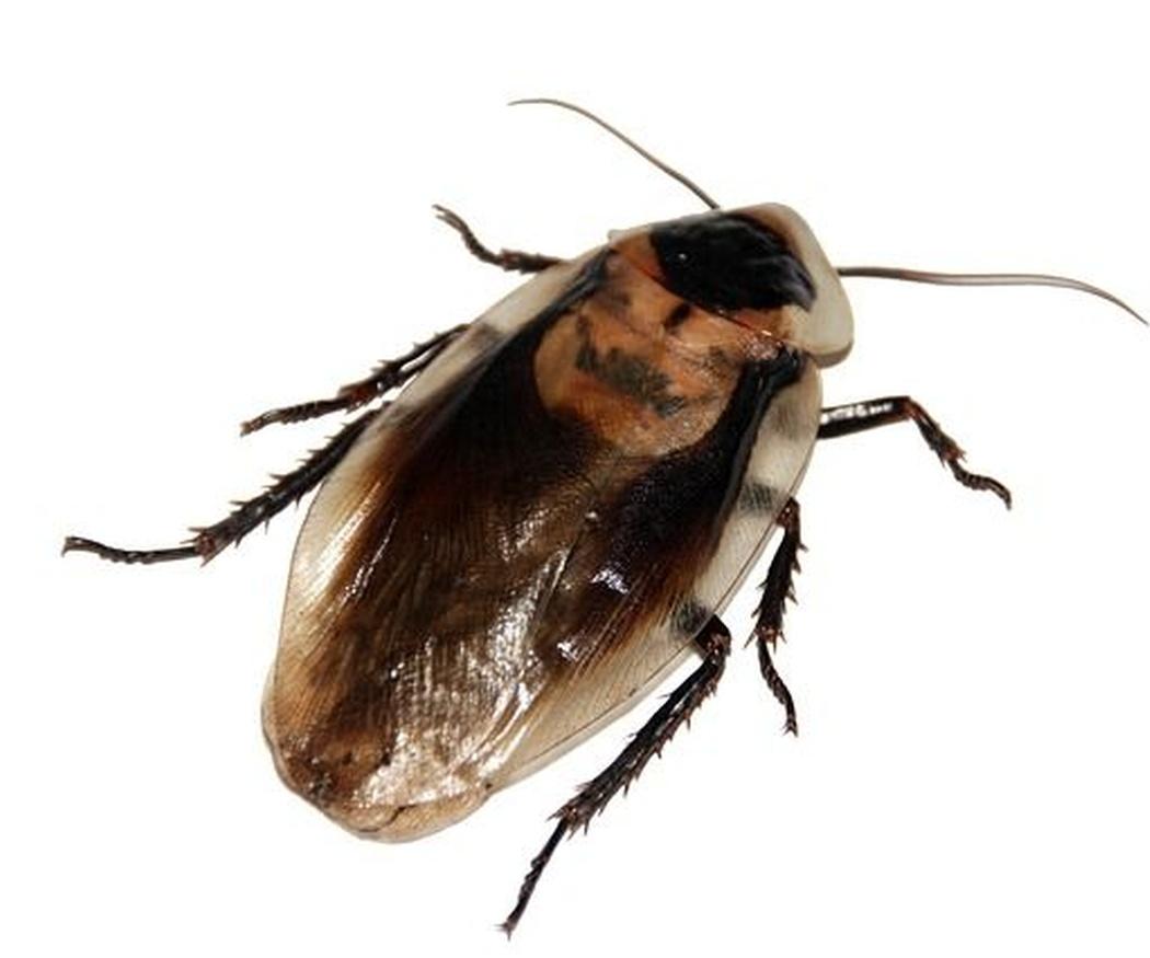 Las enfermedades transmitidas por las cucarachas