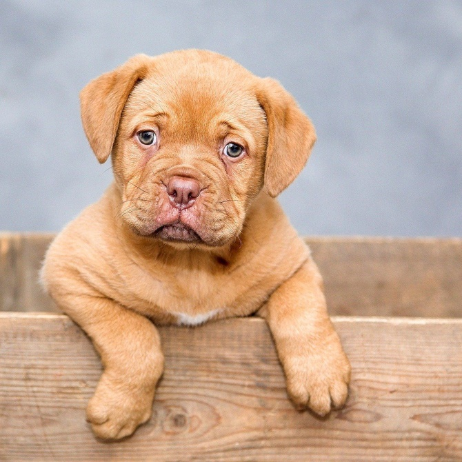 Calendario de vacunación de los perros