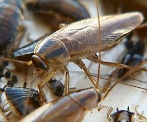 Eliminación de cucarachas - Desinsectación