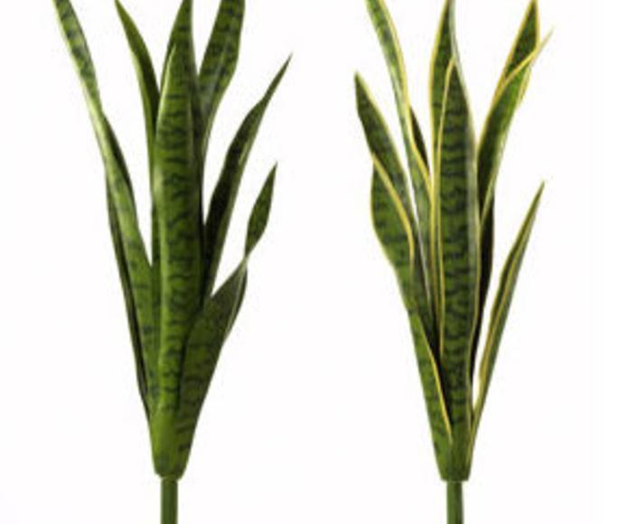 Planta Sansiviera X8