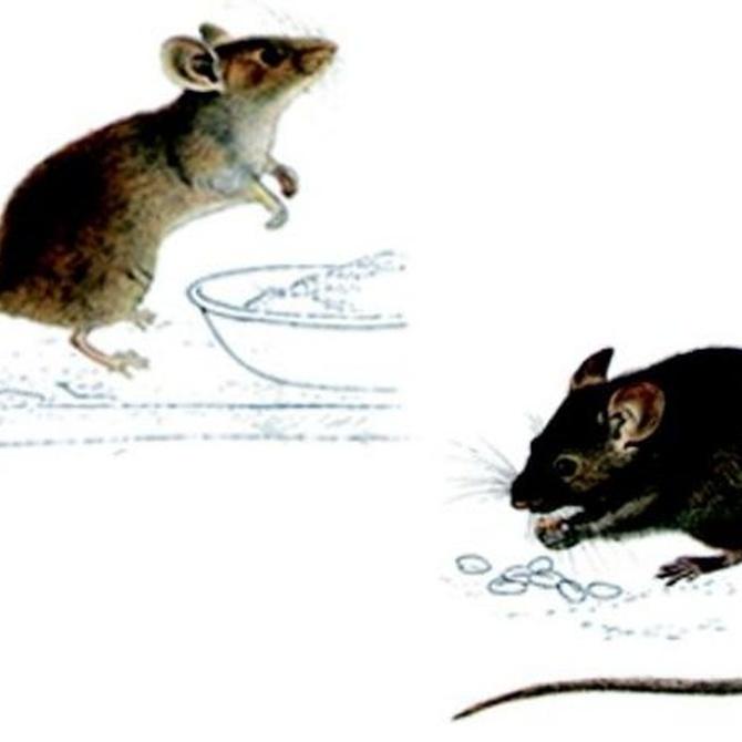 Medidas para prevenir la presencia de roedores en tu hogar