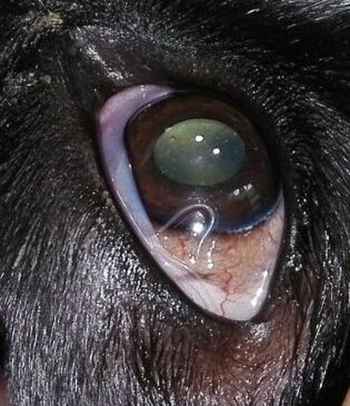 Thelaziosis ocular