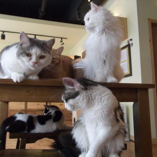 El boom de los bares con gatos