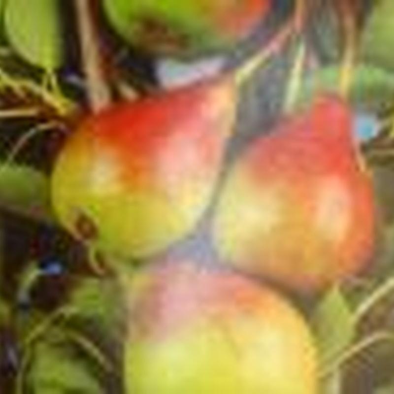 Frutales: Plantas y complementos de Viveros Cidoncha