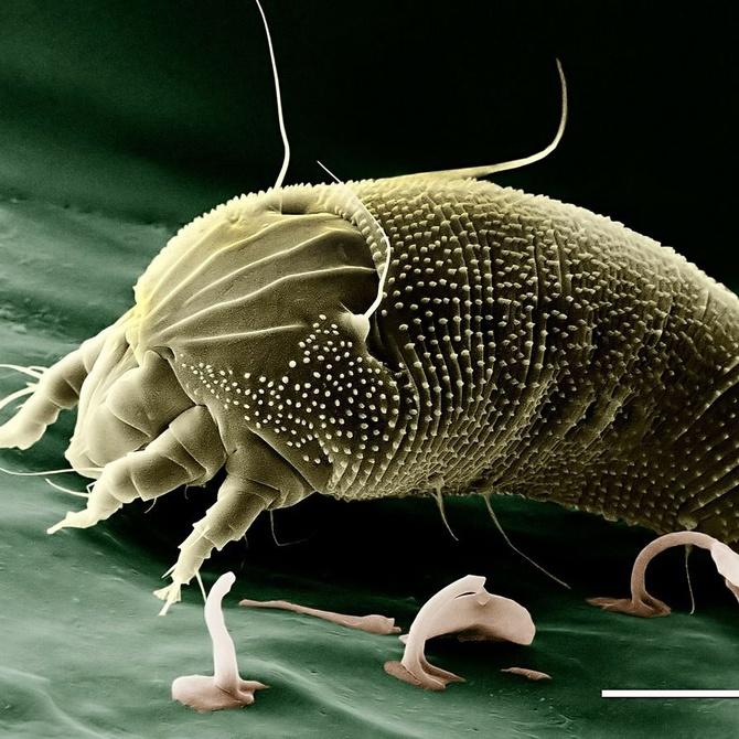¿Por qué los ácaros del polvo son unas verdaderas amenazas?