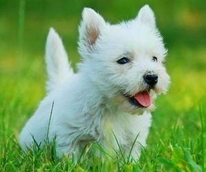 Curiosidades del westy terrier