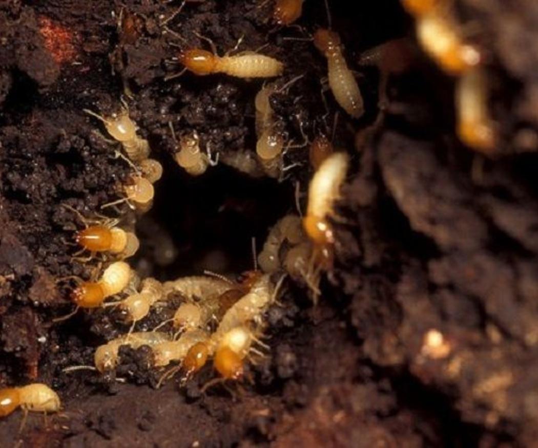 Descubre la importancia de los tratamientos de la madera contra termitas