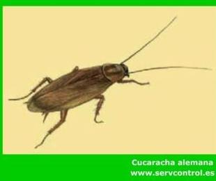 Fumigación y control de Cucarachas