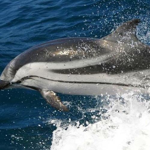 Avistamiento de Delfín listado en Tarifa