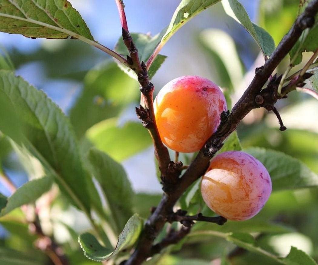 Las épocas de poda de los árboles frutales