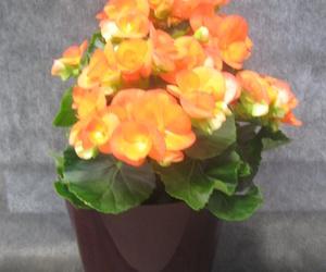 Begonia Elatior Naranja