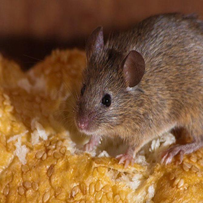 Los peligros de los roedores