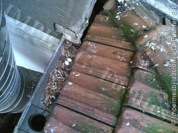 Nidos en canales de recogida de agua pluviales del tejado