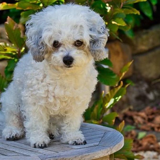 Cuidar el pelo blanco de las mascotas