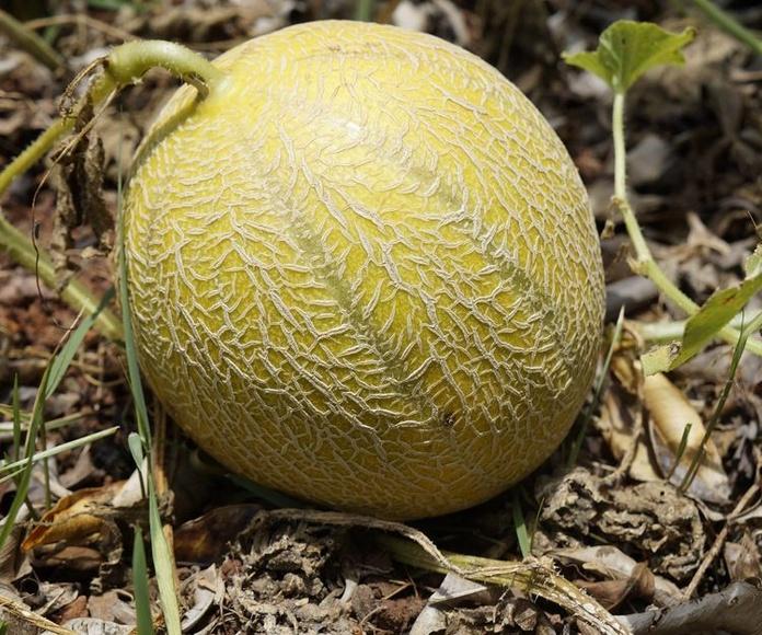 Cultivo melón francés: Servicios de Coygasa