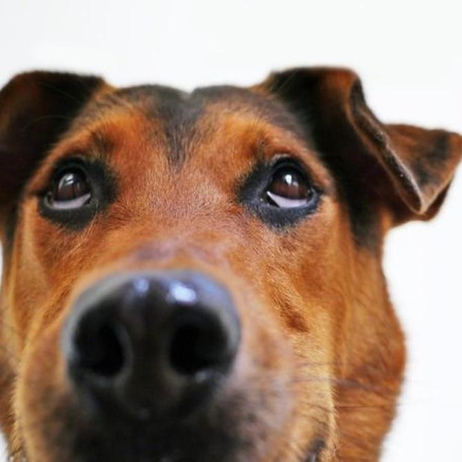 Las cataratas en los perros
