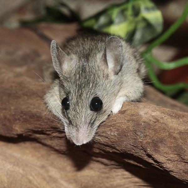 El ratón pigmeo como mascota