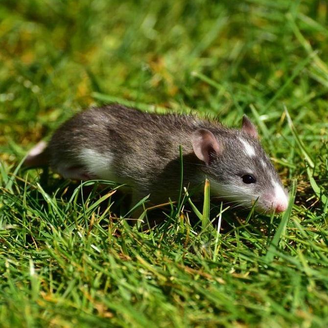 La importancia de controlar las plagas de ratas