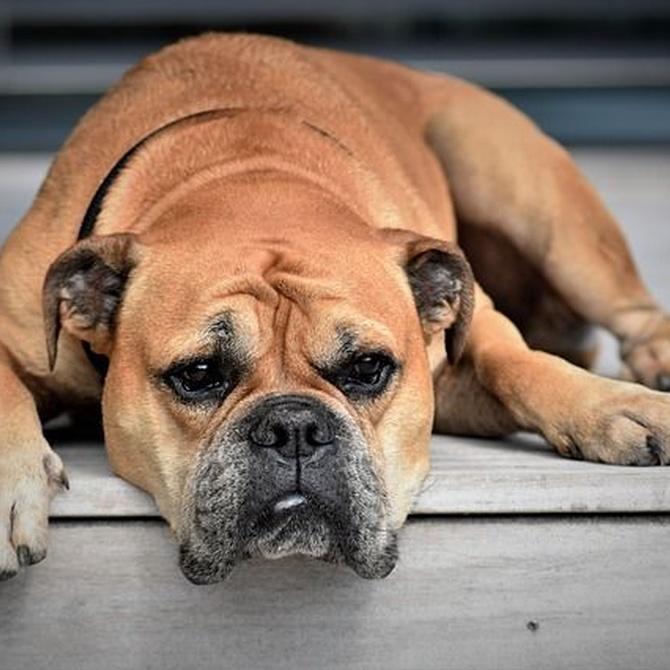 Problemas de piel en los perros