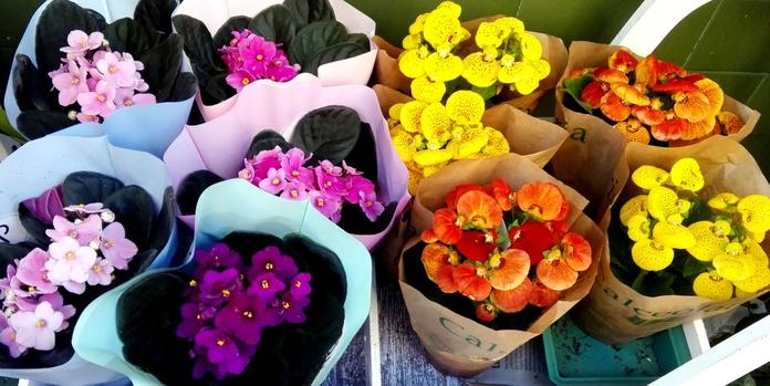 Violetas y primulas