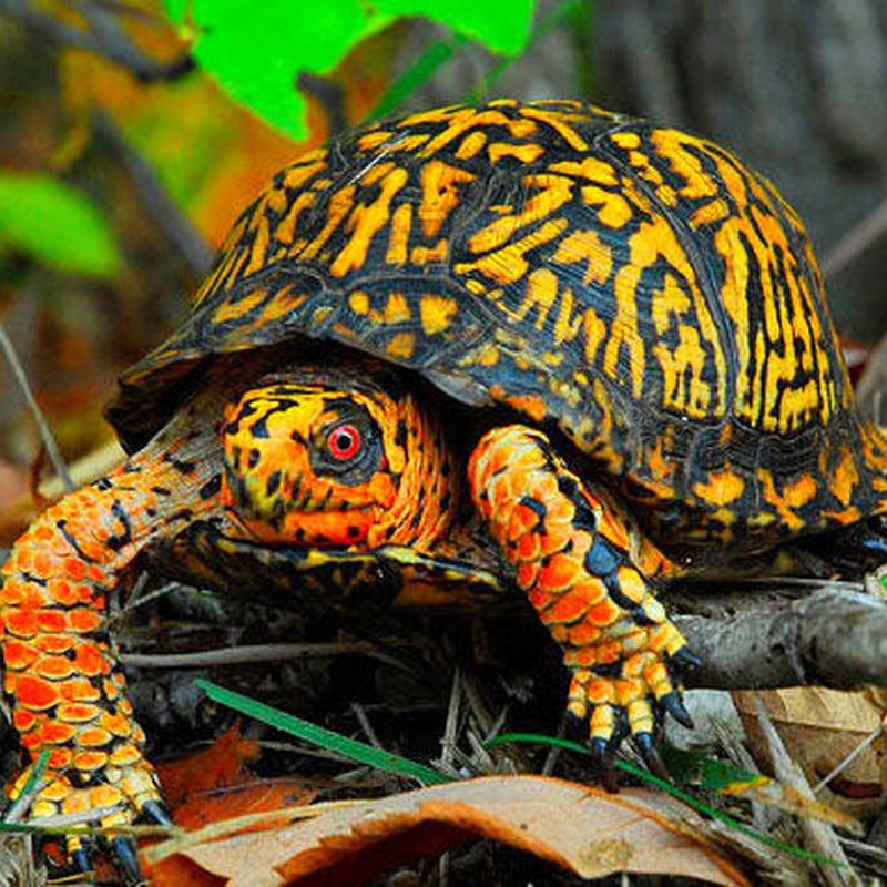 Tortuga caja: Catálogo de Reptil Parc