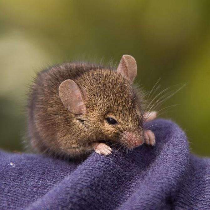 Cómo disuadir a los ratones para que no visiten tu casa