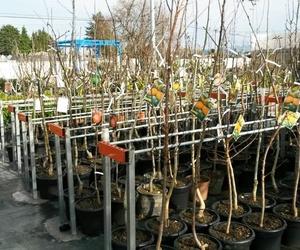 Venta de árboles en Monforte de Lemos