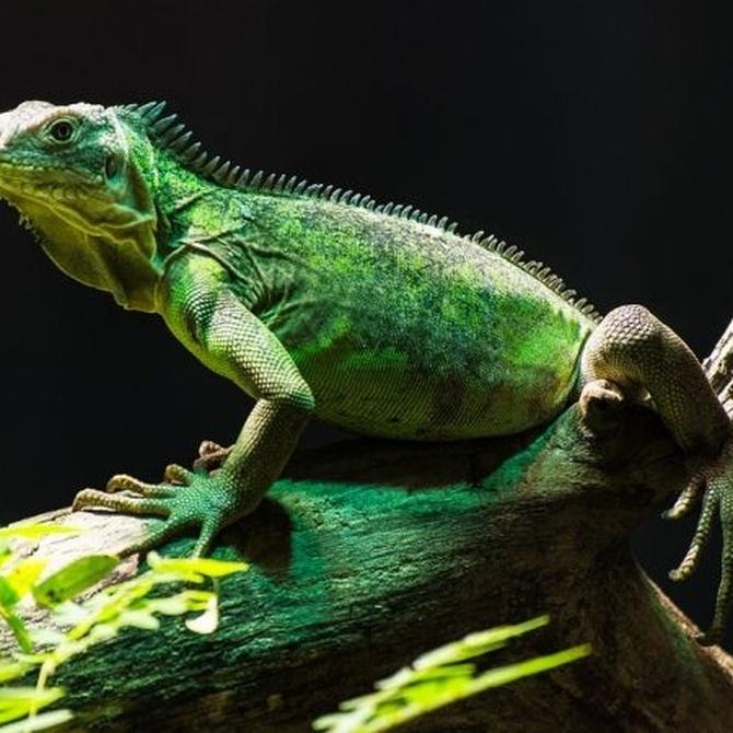 El cuidado de la iguana: el terrario y la dieta
