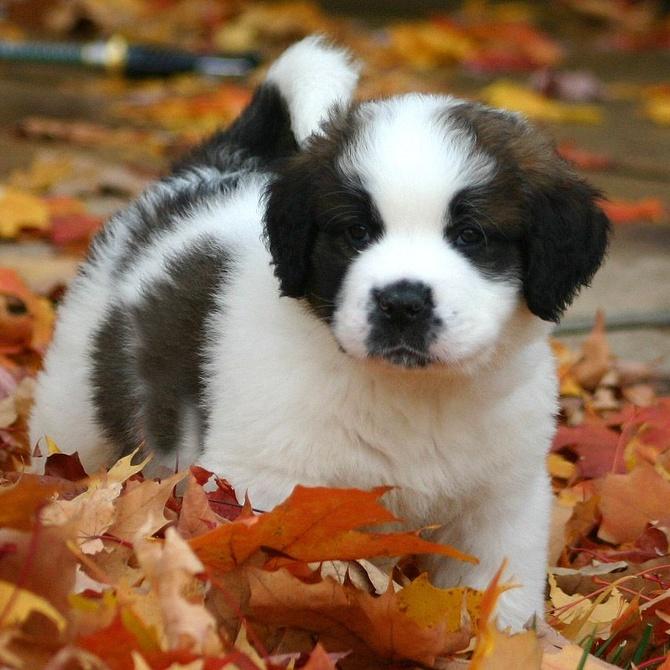 En otoño, cuidado con la tos de las perreras