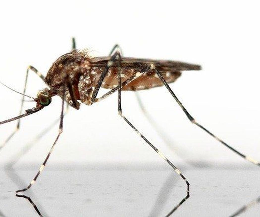 Enfermedades infecciosas que transmiten los mosquitos